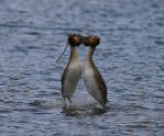 Great Crested Grebe Mating Dance by Somnp