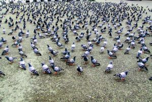 Pigeons  : Lots of Pigeons by frankzzsword