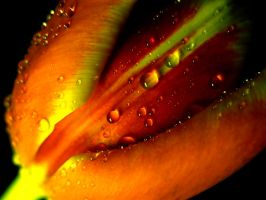 Tulip and Drops 2 by tiefel