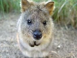 Quokka by RYAFACAN
