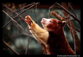 Tree Kangaroo: Reach by TVD-Photography