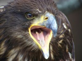 sea-eagle by LidiaL
