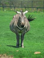 Fat Zebra by allykat