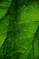 Leaf texture stock 1 by Quinnphotostock
