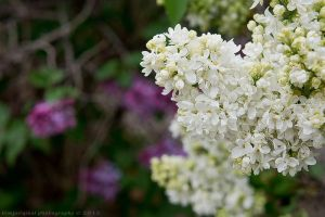 more evening lilacs by bimjo