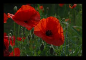 Poppy. 2 by Alhor-Ern