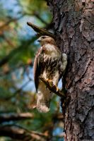 Young Hawk by Joseph-W-Johns