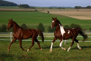 American Saddlebred Stock 13 by LuDa-Stock