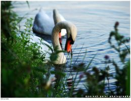 swan by disfractional