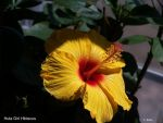 Sunny Wind Hibiscus by BlueSolitaire