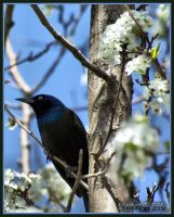 Black bird or grackle by Gooiool