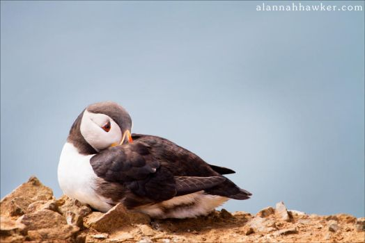 Puffin 4 by Alannah-Hawker