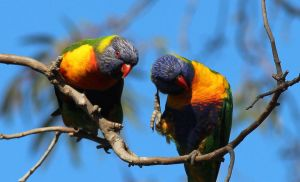 rainbow lorikeets by wolftraz