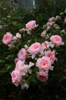 Roses In The Garden by BTrerice