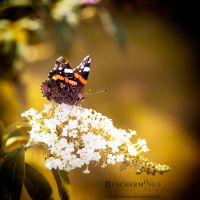 Indian Summer butterfly by buschermoehle-photo