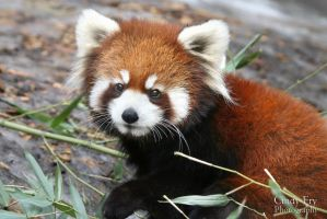 Red Panda by lost-nomad07