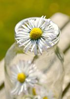 Spring Daisies by Nathanhead