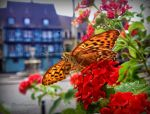 Phoenix butterfly looking for sweet nectar by Cloudwhisperer67