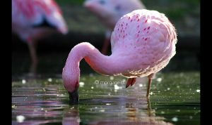 Lesser Flamingo II by moem-photography