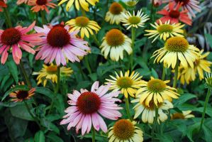 Coneflowers 2 by dpt56