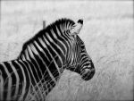 My Simplicity Zebra by BrightOctober