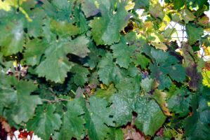 Grape Vine-Stock by Thorvold-Stock