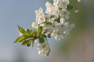 Apple blossom by theGuffa
