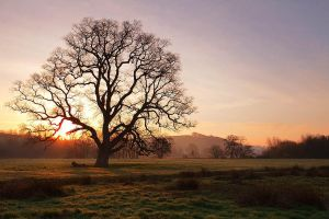 Old Oak Sunrise by Andyw01