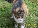 Ligeia the Calico by Bells505