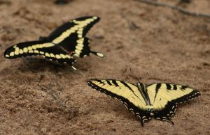 Swallowtails by Gwend-O-Ithilien