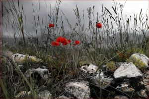 Poppies and Stones by fra5513
