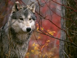wolf by LJ6204