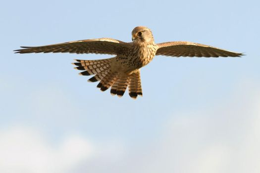 Vogueing Kestrel by thrumyeye