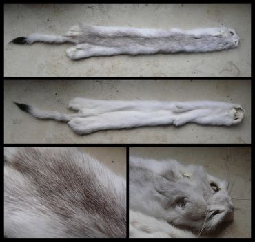 Odd colored ermine pelt FOR SALE by CabinetCuriosities