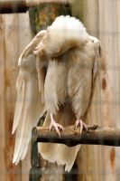 Rare white raven 3 by DarkBeforeDawn23