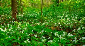 Trilliums are everywhere by hedgiehog1