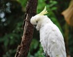 Sulphur-Crested Cockatoo by MorrighanGW