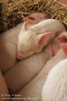 Piglets by twilliamsphotography