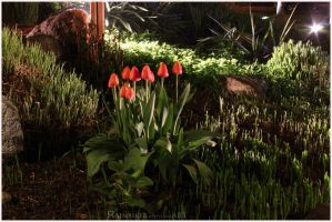 tulips at night by Rainbiker