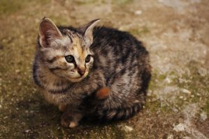 Kitten Portrait by Poppaea