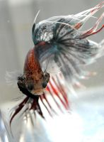Silver Crowntail II by copperarabian