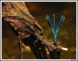 Damselfly take off by MrMeik
