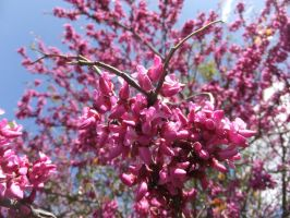 Redbud by citreneowl