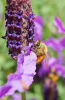 Bee and Lavander Part I by ThisIsWildEmperor