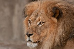 Lion Portrait by robbobert