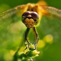 a dragonfly by anniowa