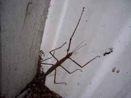 Stick Insect 3 by OWTC-Stock