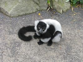 Animals 108 lemur by Dreamcatcher-stock