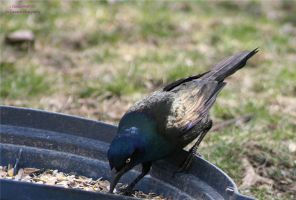 Common Grackle Eating by panda69680102