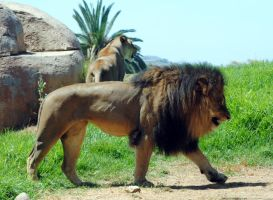 Lion walking by fosspathei